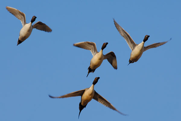 00300-027.03 Pintail Duck