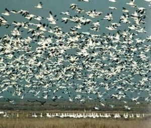 World Famous Goose Hunting in Louisiana